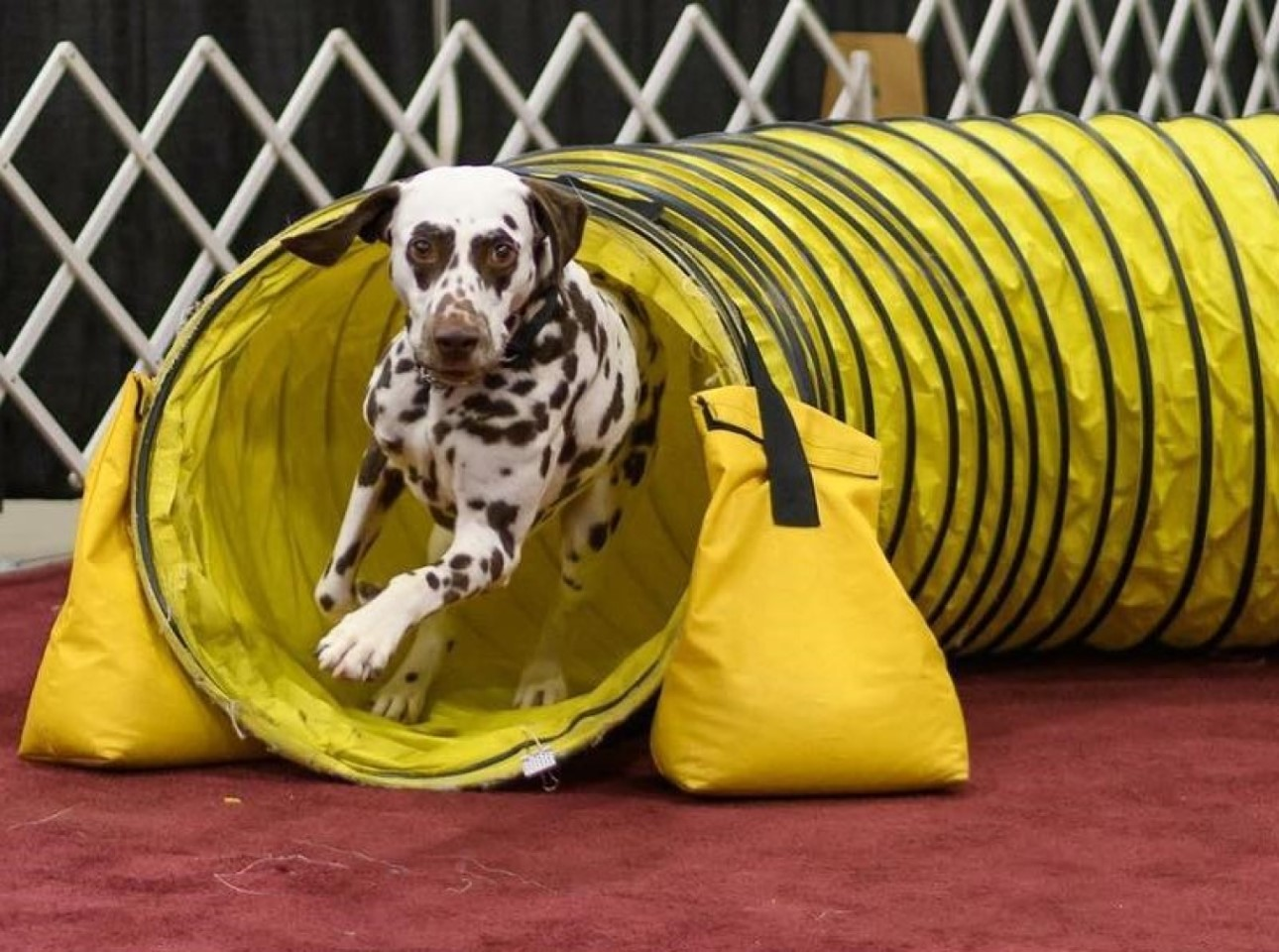 William The Dalmatian - Running Through A Competition Tunnel